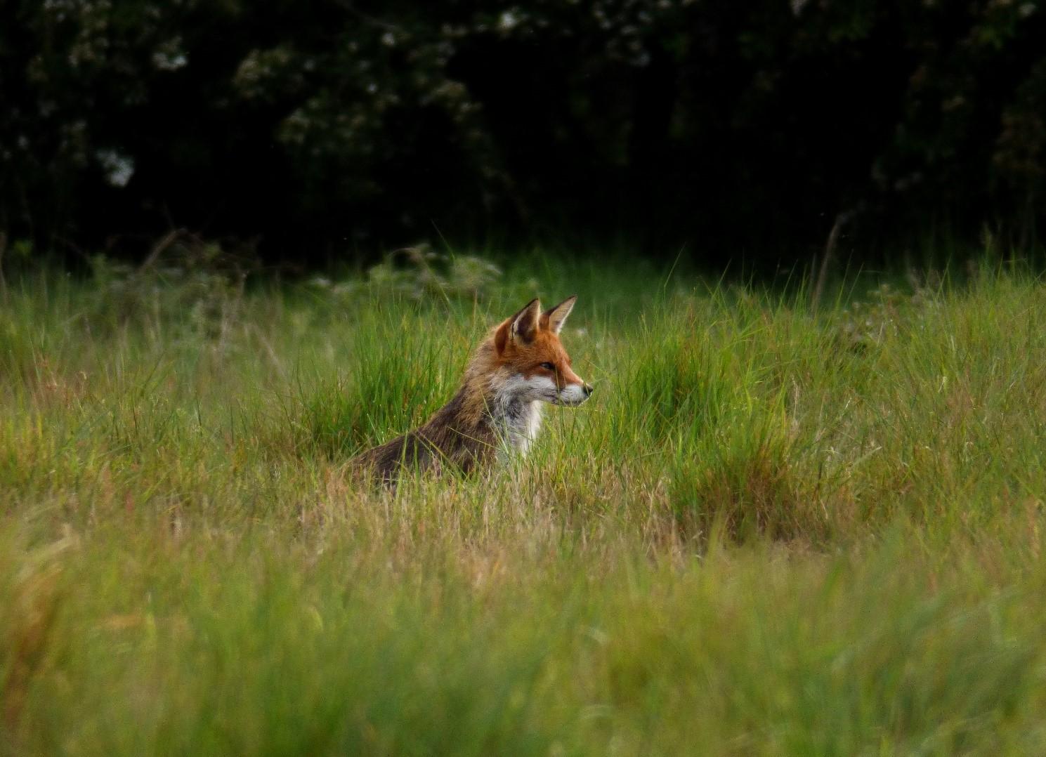 Lound Lakes Fox